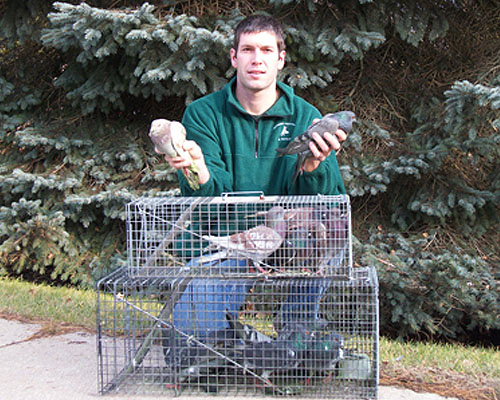 Pigeons removed from a large business in Petoskey