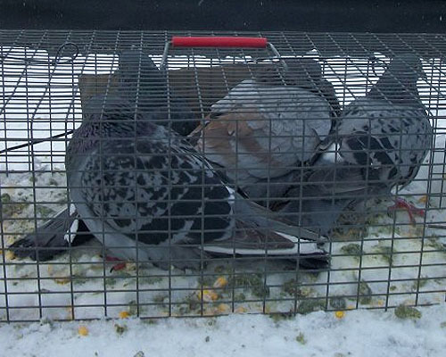 Pigeons in a trap
