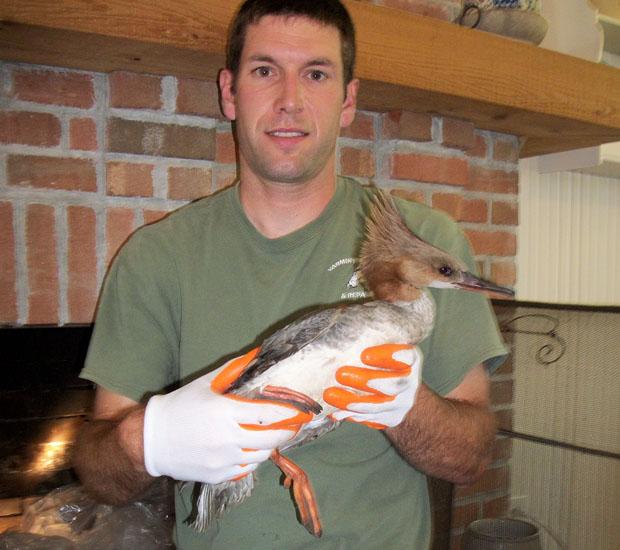 Common Merganser Bird Birds Control Removal
