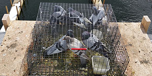 Varmint Removal Animal Repair Birds Pigeons Northern Michigan