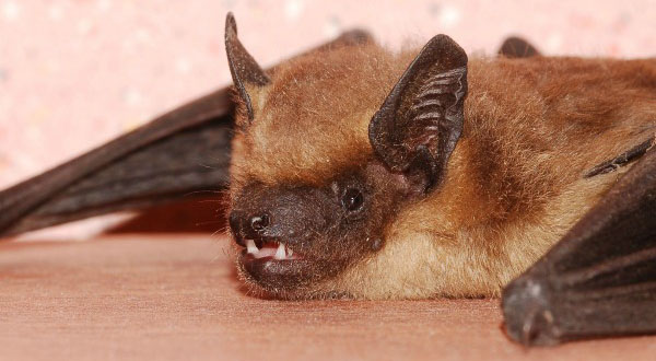 Bat Removal Bats Petoskey Michigan