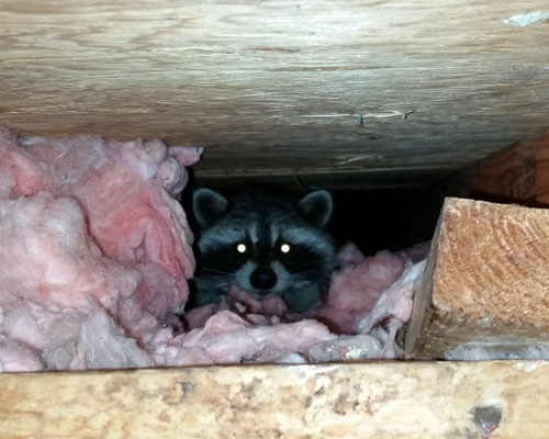 Raccoon in attic space